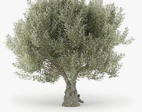 3D Olea europaea