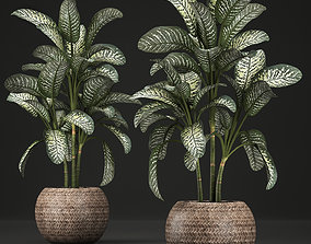 3D Dieffenbachia in a pot 455