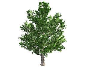 3D model Sugar Maple Tree