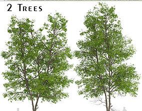 Set of Tilia Platyphyllos or Large-Leaved Lime Trees 3D 3