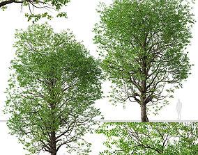 3D Set of Japanese zelkova or Zelkova serrata Trees - 2