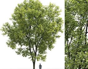 Ash-tree 07 H15m 3D