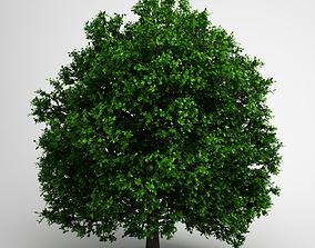 CGAxis Pedunculate Oak 14 3D