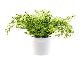 3D model Maidenhair ferns plant 2