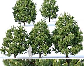 3D model Pinus sylvestris Nr3 H3-6m V2 Five tree