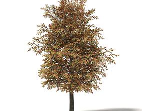 Mountain Ash 3D Model 6m