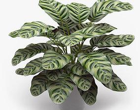 3D Calathea Makoyana Plant