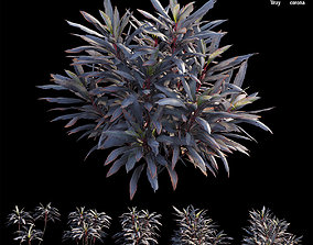 3D Cordyline fruticosa plant set 04