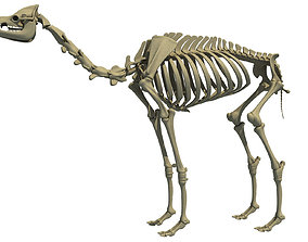 Full Body Camel Skeleton 3D