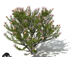 XfrogPlants Grey Spider Flower 3D model