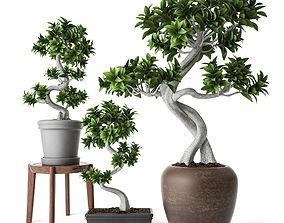 3D Ficus Microcarpa