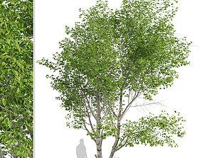 3D model Set of Paper Birch or Betula papyrifera Trees - 1