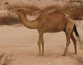 Camel Rigging 3D model