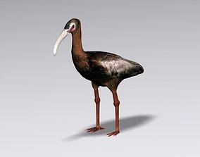 3D White faced ibis