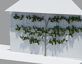 Pear tree -Pyrus- on lattice 10 x 6m 3D asset