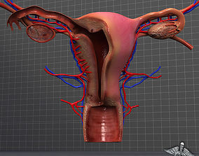 Human Female Reproductive System 3D model