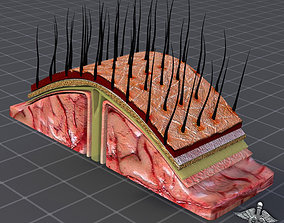 Human Scalp Anatomy 3D model