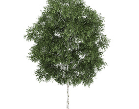 3D model Silver Birch 5 Betula pendula