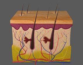 3D model Skin Layer Anatomy