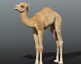 3D model Camel Baby Fur