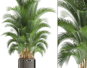 3D model Howea palm
