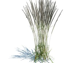 Grass Plant Calamagrostis Acutiflora 3D