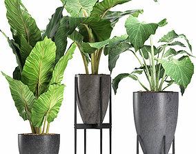 Plants Collection 210 Alocasias 3D