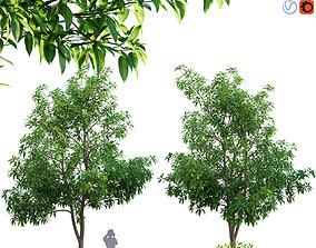 3D Michelia alba-White champaca-Michelia longifolia