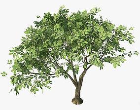 3D asset Hornbeam Tree