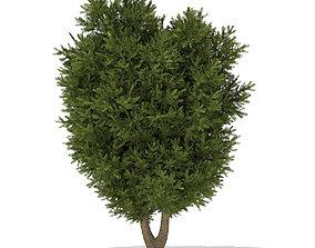 3D European Yew Taxus baccata 4m