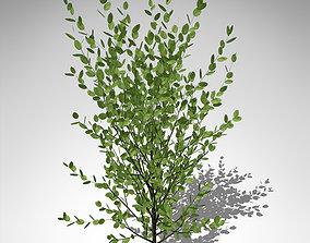 XfrogPlants Grey Willow 3D model