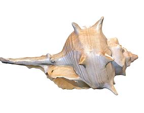 Sea Conch Shell 3D model