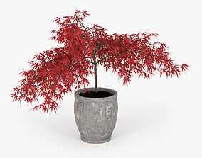 3D Acer japonicum