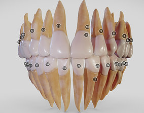 Teeth Dentistry 3D model