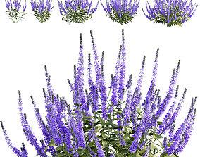 3D model Salvia nemorosa