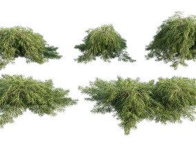 3D Acacia cognata Limelight - Weeping Acacia - 01
