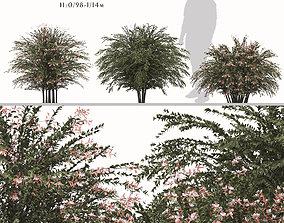 Set of Abelia grandiflora or Pearl Acacia Trees 3D model 2