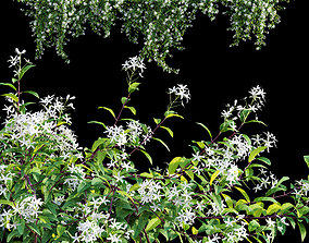 Trachelospermum Jasminoides - Star Jasmine creeper 3D