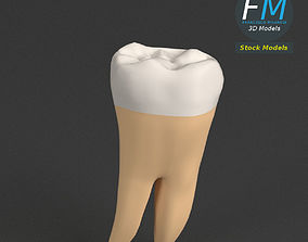 3D asset Stylized human first molar tooth