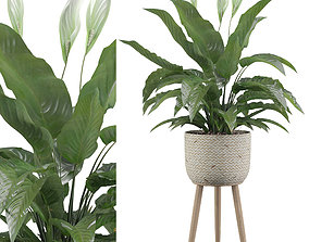 Peace Lily 01 3D model