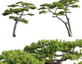 3D Pinus taiwanensis - Taiwan red pine - Pine 07