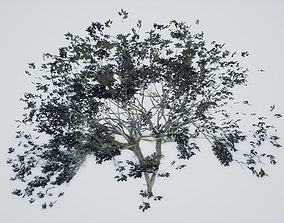 Tree Acacia Old 3D asset low-poly