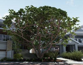 Giant Frangipani Tree 3D