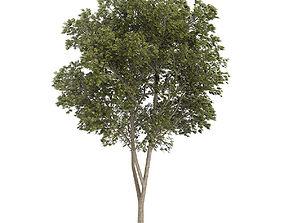 Austrian oak Quercus cerris 3D