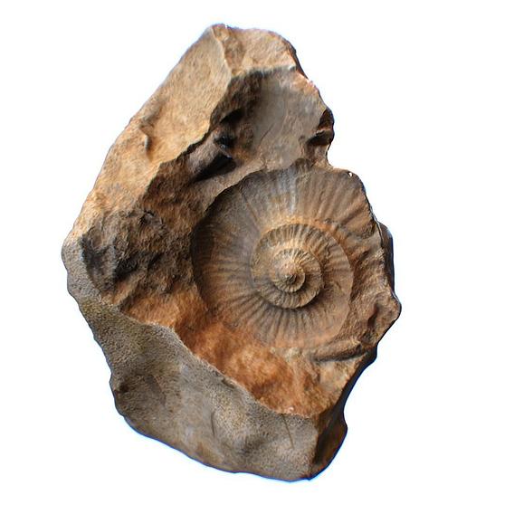 Ammonite Fossil Countermold