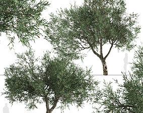 Set of Olive or Olea europaea Tree - 2 Trees 3D Models