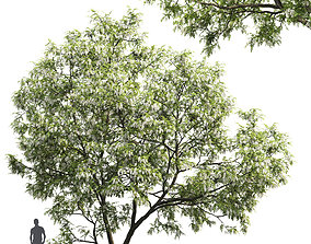 Robinia pseudoacacia 05 H9m 3D model