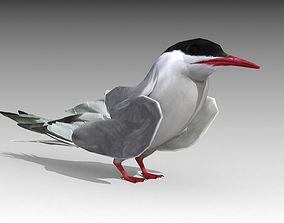 3D asset Arctic Tern