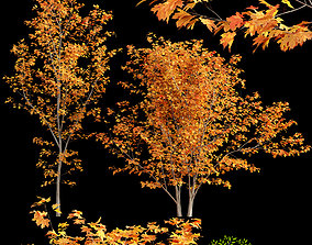 Acer circinatum-Vine Maple 03 3D