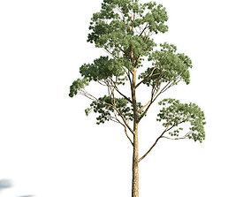 Eucaliptus gunni 22 am154 3D model